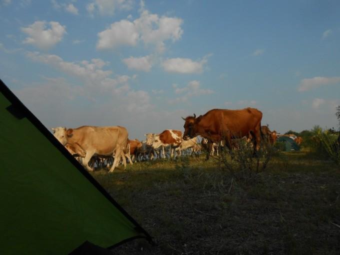 Lehmad ülbitsevad :)
